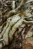 Gnarled roots Stock Photography