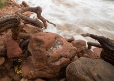 The gnarled roots of a cottonwood tree reach down to the rushing river over and around boulders stock photos