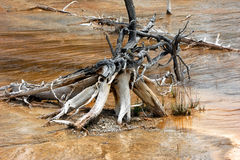Gnarled Roots in Norris Geyser Basin Stock Images