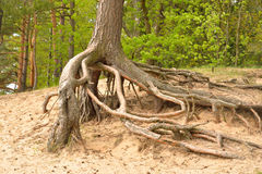Gnarled roots of pine tree. Royalty Free Stock Photo