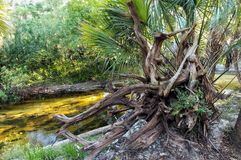 The gnarled roots of an uprooted tree on a river Royalty Free Stock Photo