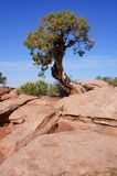 Gnarled Stunted Pine Tree Stock Images