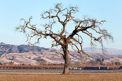 Gnarled Tall Lone Tree on the Western Plain Royalty Free Stock Photos
