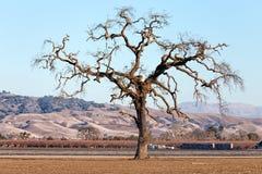 Gnarled Tall Lone Tree on the Western Plain. Gnarled Lone Tree on the Western Plain Royalty Free Stock Photos