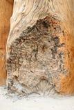 Gnarled teak wood timber Stock Photography