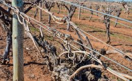 Gnarled Tendrils and Canes Of Grape Vine on Trelli Stock Image