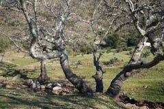 Gnarled Tree Royaltyfria Foton