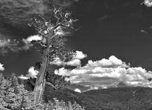Gnarled tree against the Colorado Rockies sky Stock Photo