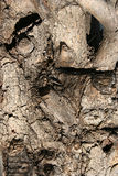 Gnarled tree bark Royalty Free Stock Photo