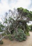 Gnarled Tree on Beach Track. Royalty Free Stock Image