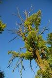 Gnarled tree royalty free stock photo