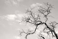 Gnarled tree branch Royalty Free Stock Photography