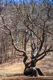 Gnarled Tree in Clearing During Early Spring. A large gnarled tree grows on a mountain clearing in early spring royalty free stock images