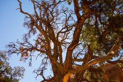 A gnarled tree in the desert Stock Images
