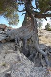 Gnarled tree growing in rocks stock photos