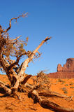 Gnarled tree Monument Valley. An ancient, gnarled juniper tree at Monument Valley, Arizona Stock Photos