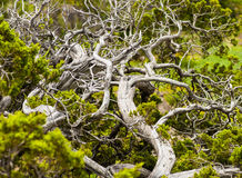 Gnarled Tree. Mountain top tree with gnarled branches Royalty Free Stock Image