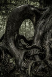 Gnarled Tree Roots. Above ground royalty free stock images