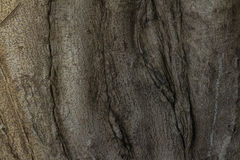 Gnarled tree roots Royalty Free Stock Image