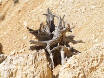 Gnarled Tree. The gnarled roots of a long-dead tree create an interesting pattern amongst the stones of Bryce Canyon, Utah Stock Photography