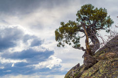 Gnarled tree. A scraggly tree growing out of the rocks near Fish Creek Falls Steamboat Springs, Colorado royalty free stock images