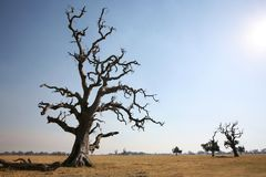 Gnarled Tree and Summer Heat. A unique skeleton of a majestic tree on a field in Australia Royalty Free Stock Photo