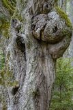 Gnarled tree trunk Stock Images