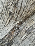 Gnarled tree trunk background Royalty Free Stock Photo