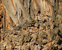 Gnarled tree trunk texture closeup Royalty Free Stock Image