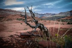 Gnarled tree Utah Stock Images
