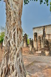 Gnarled tree. Wat Si Chum. Historical Park. Sukhothai. Thailand Royalty Free Stock Photography