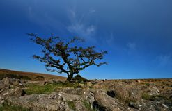 A gnarled tree on Weatherdon Hill Stock Photos