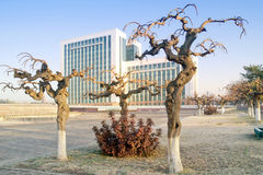 Gnarled trees. Decorative trimming of tree branches in Tashkent city Stock Photos