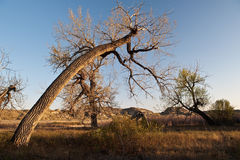 Gnarled trees of  Dinosaur Provincial Park Stock Image