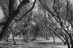 Gnarled trees intertwine in an arch over a path - black and white image. Live oak trees in the south Royalty Free Stock Image