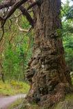 gnarled treestam arkivfoto