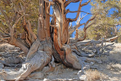 Gnarled Trunk of Bristlecone Pine Royalty Free Stock Photos