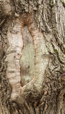 Gnarled trunk of an old tree royalty free stock image
