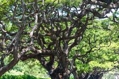 Gnarled and twisted branches of a monkeypod tree Stock Image