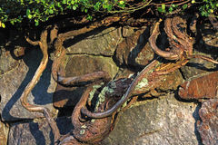 Gnarled vines against stone wall. Several gnarled vines against a stone wall in the early morning sunlight Stock Images