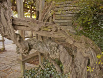 Gnarled Wisdom in a Tree Trunk Stock Images