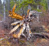 A rotting tree stump in the yukon territories in the springtime Royalty Free Stock Photography