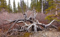 Gnarled wood in a forest. A twisted dead tree on the ground as seen in the yukon in the springtime Royalty Free Stock Image