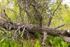 Gnarled wood in a forest. A twisted dead tree on the ground as seen in the yukon in the springtime Stock Photography