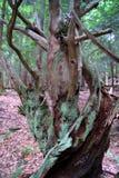Gnarley-Baum Lizenzfreie Stockfotos