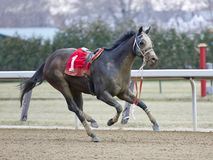 Riderless Horse Gnarly royalty free stock images