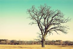 Gnarly Bare Branched Old Oak Tree Isolated in Country Stock Photo