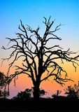 Gnarly bare tree silhouette at sunset Stock Photos