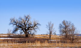 Gnarly Bare Trees on the Colorado Prairie Royalty Free Stock Photography