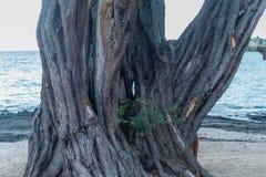 Gnarly Baum mit einem Loch in ihm am Strand auf der großen Insel von Hawaii Lizenzfreie Stockfotos